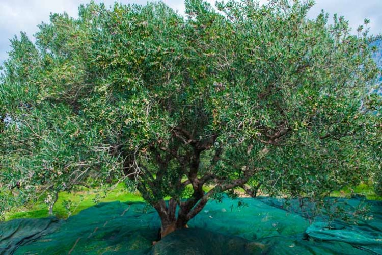 Our olive grove outside Ierapetra in south east Crete