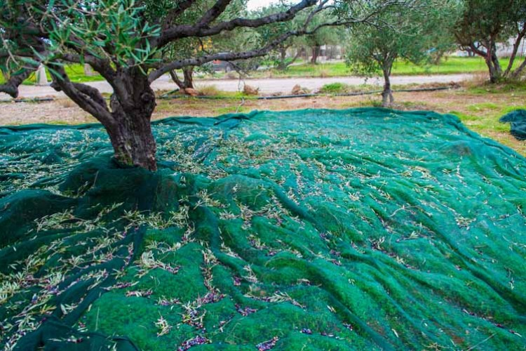 Laying nets under the trees