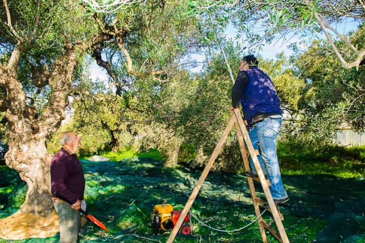 Tapping the tress for the olives to fall